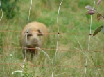 The pigs didn't want to say hello (and my camera didn't want to focus on them)